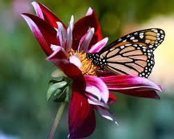 mariposas10