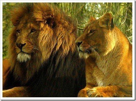 mejores fotos de leones
