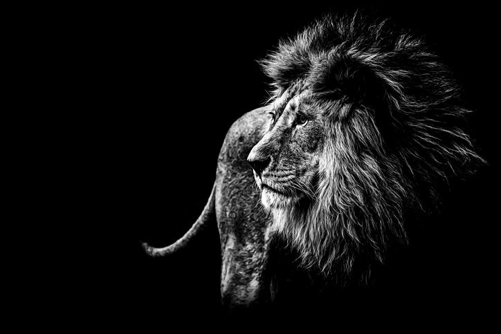 Mejores fotos leones 4
