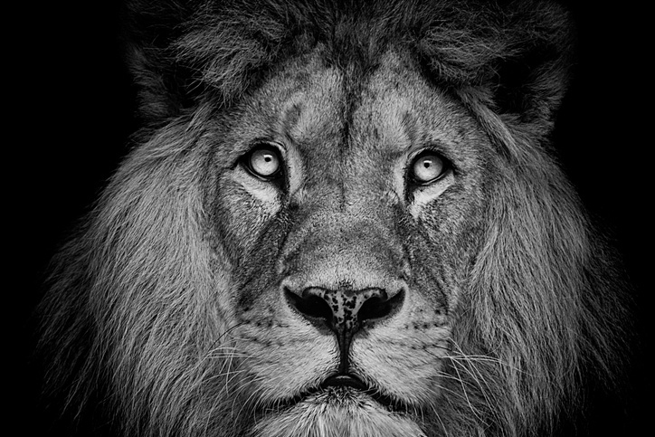 Mejores fotos leones 9