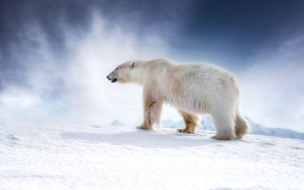 Osos polares dia del oso polar  3