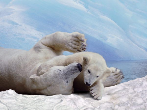Osos polares dia del oso polar  4