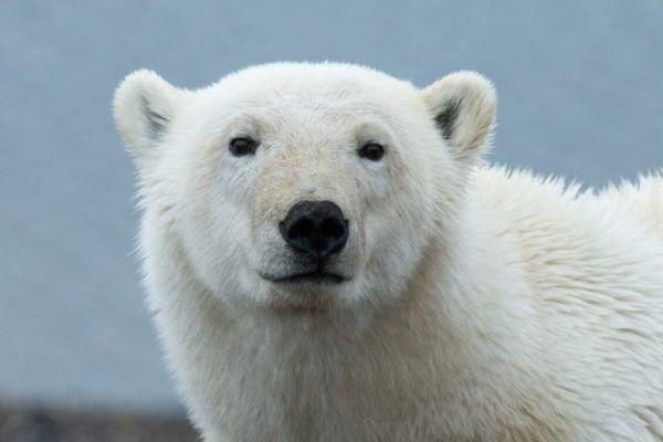 Osos polares dia del oso polar  5