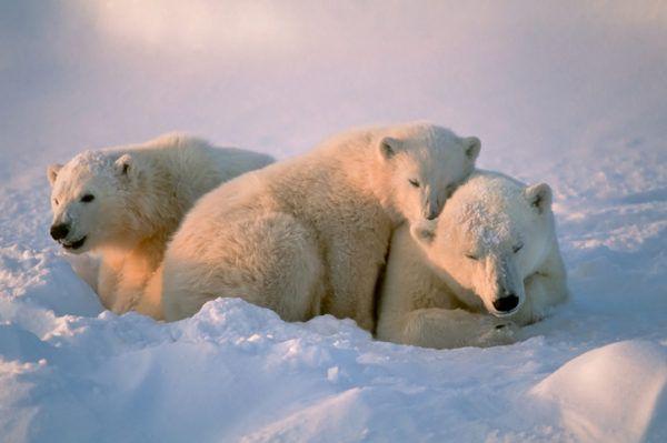 Osos polares dia del oso polar