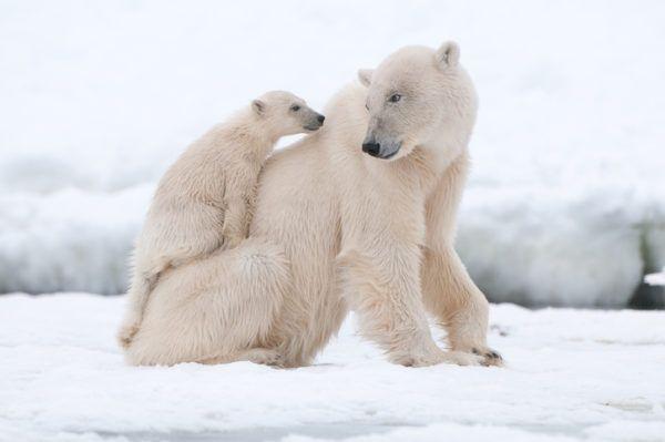 Osos polares dia internacional del oso polar