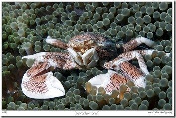 porcelain_crab_by_carettacaretta