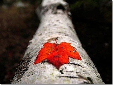 red-leaf-touzon_1504_990x742 [500x400]