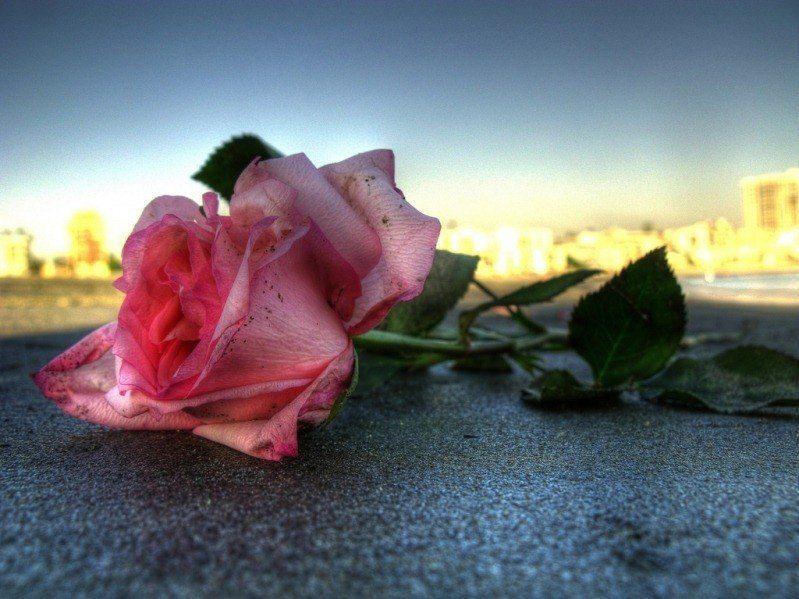 Fotos de jardines de rosas, Fotografías de jardines de rosas