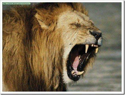 rugido leon