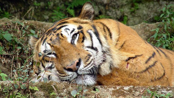 tigre-asia